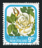 Flower Rose Iceberg — Stock Photo