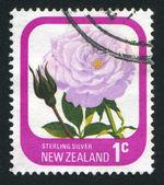 Flower Rose Streling — 图库照片