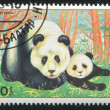 Giant panda and a bear cub — Stock Photo