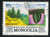 Picea Obovata — Stock Photo