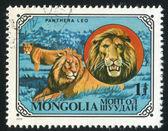 Panthera Leo — Stockfoto