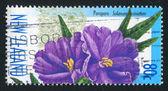 Flower lobed nightshade poroporo — Stock Photo
