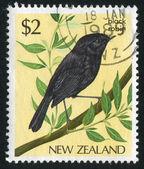 Bird black robin — Stock Photo