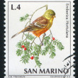 Ortolan bunting — Stock Photo