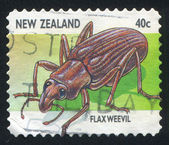 Flaxweevil — Stock Photo