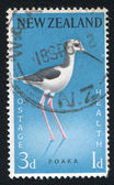 Pied stilt — Stockfoto