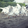 Stock Photo: Geese running