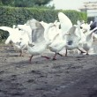 Geese running - Stock Photo