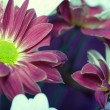 Chrysanthemum - Photo