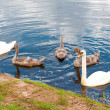 Group of swans swimming by the river - Stock Photo