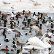Seagull ducks and swans at winter time — Stock Photo #9264685
