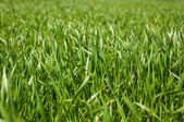 Growing green grass at springtime — Stockfoto