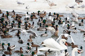 Seagull ducks and swans at winter time — Stock Photo