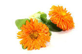Fresh Marigold with leaves — Stock Photo