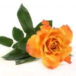 Rose — Stock Photo #9066329