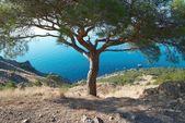Pino grande a orillas del mar — Foto de Stock