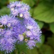 Ageratum — Stock Photo #9511977