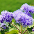 Royalty-Free Stock Photo: Ageratum