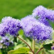 Ageratum — Stock Photo #9513182
