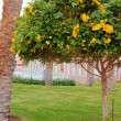Golden Trumpet bush — Stockfoto #9514454