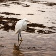 Egret — Stock Photo #9514674