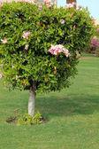 Hibiscus flower — Stock Photo