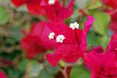 Bougainvillea flowers — Stock Photo