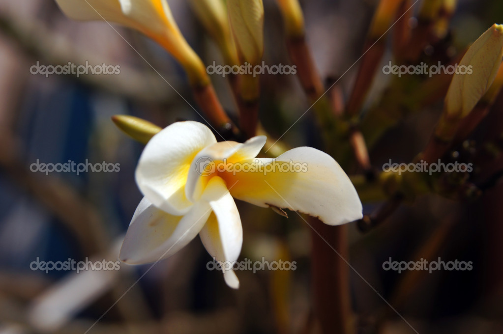 Close up of tropical flowers of Plumeria — Stock Photo #9513403