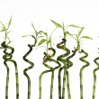 Lucky bamboo - Foto Stock