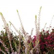 Heather with flowers - Stockfoto