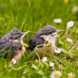 Young Nuthatches — Stock Photo