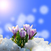 Crocus in the snow — Stock Photo