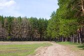 Jarní borový les — Stock fotografie