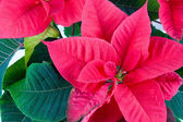 Red flowers of Christmas star close-up — Stock Photo