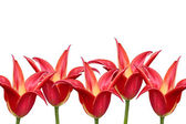 Five red tulips on a white background. — Photo