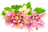 Pink flowers of aquilegia and its reflection on a blue background — Stock Photo