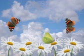 Chamomiles and butterflies on a background of the cloudy sky. — Stock Photo
