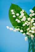 Lily of the valley on a blue background — Stock Photo