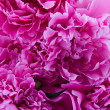 Pink peonies — Stock Photo