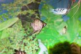 Tropische zoetwateraquarium — Stockfoto