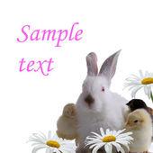 Tavşan ve tavuk papatya hakkında — Stok fotoğraf