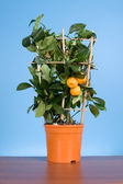 Tangerine tree (Citrofortunella microcarpa) — Stock Photo