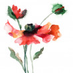 Watercolor illustration of poppy flower — Stock Photo