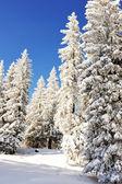 Los abetos en nieve — Foto de Stock