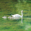 Beautiful mother swan floating on a mirror surface with cygnets - Stock Photo