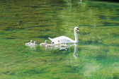 Beautiful mother swan floating on a mirror surface with cygnets — Stock Photo