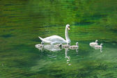 Swan with cygnets on a lake — Stock Photo