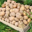 Potato, harvest, season for — Stock Photo