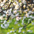Apple blossom in spring — Stockfoto