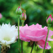 Stock Photo: Roses and flowers in the garden